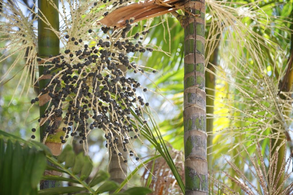 açaï palmier